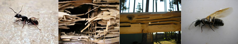 Carpenter Ants in Puyallup