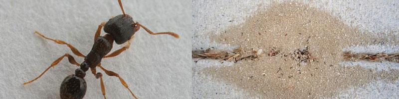 pavement ants tacoma
