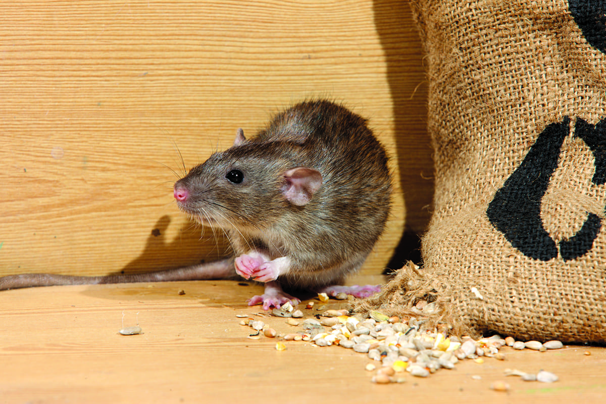 Brown Rat, Rattus Norvegicus, Eating