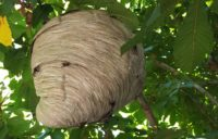 Bald-Faced Hornet Nest 1