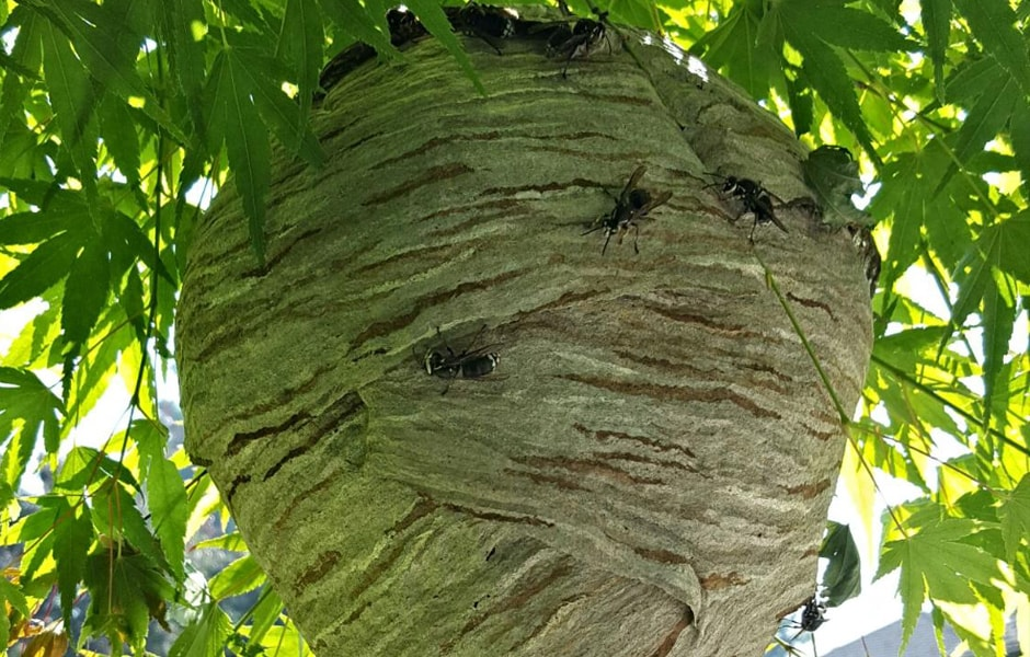 Bald-Faced Hornet Nest 2