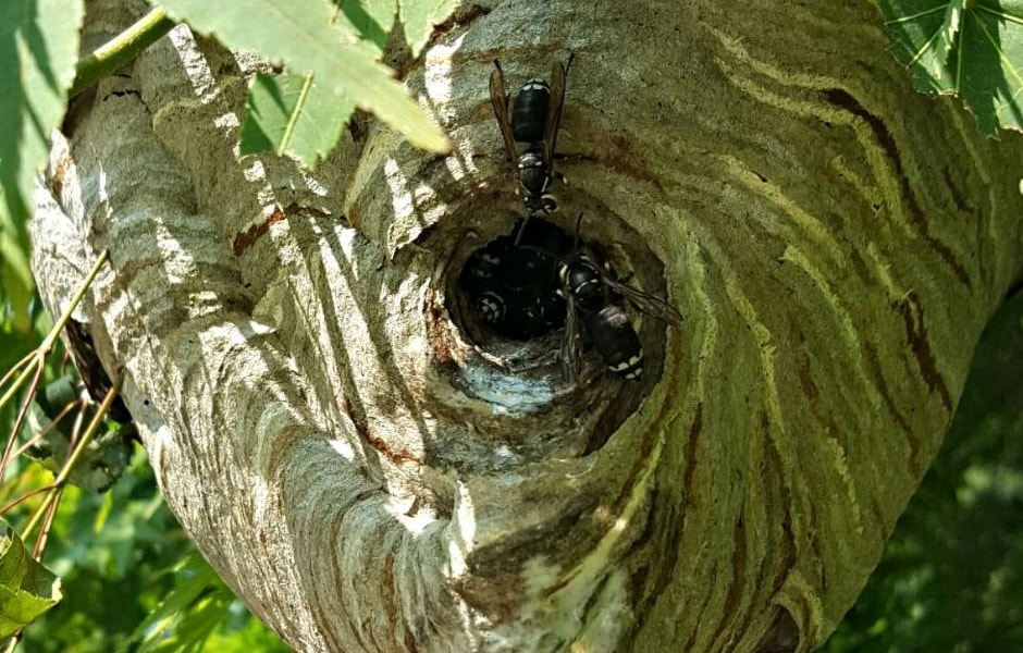 Bald-Faced Hornet Nest 3