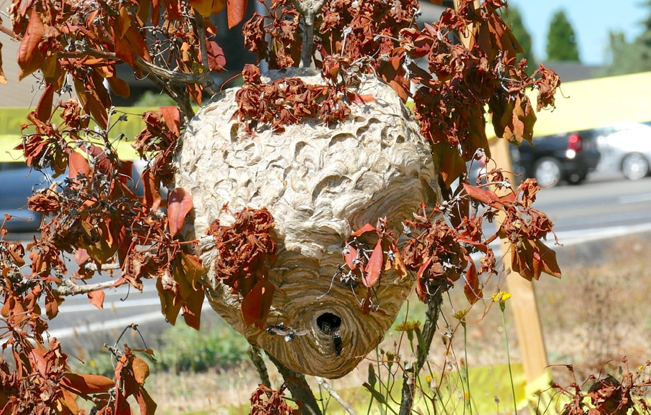 Bald-Faced Hornet Nest 4