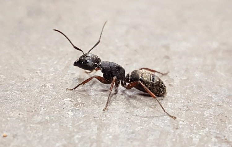 Carpenter Ant Profile