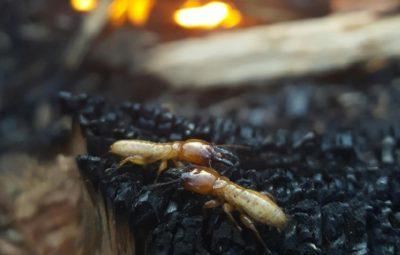 Dampwood Termites Campfire