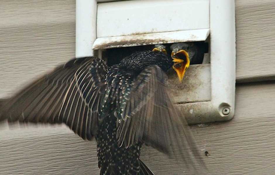 Starlings Nesting in Vent