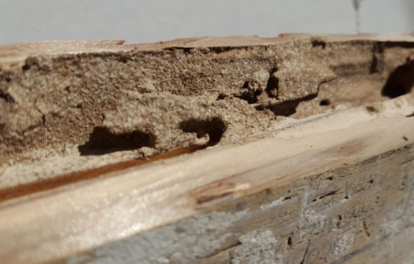Subterranean Termites Damage to Pressure Treated Wood