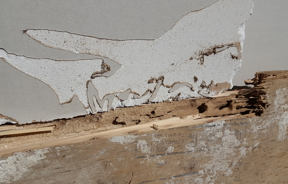 Subterranean Termites Damage to Pressure Treated Wood and Sheetrock