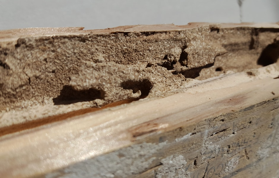 Subterranean Termites Damage to Pressure Treated Wood