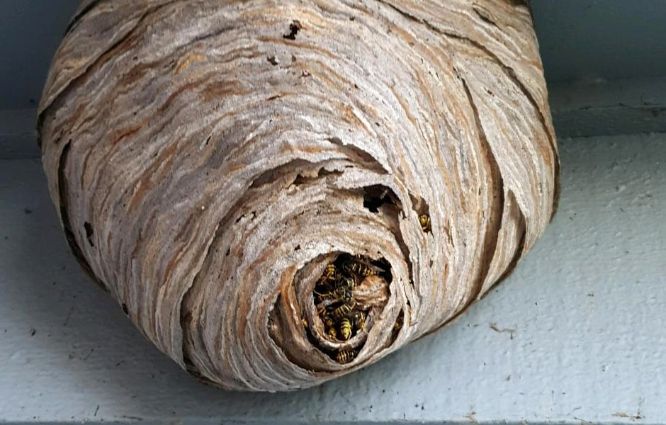 Yellowjacket Nest 3