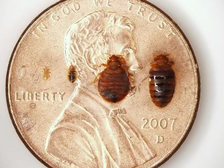Bed bugs and eggs compared to a penny