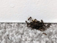 odorous house ants, spring
