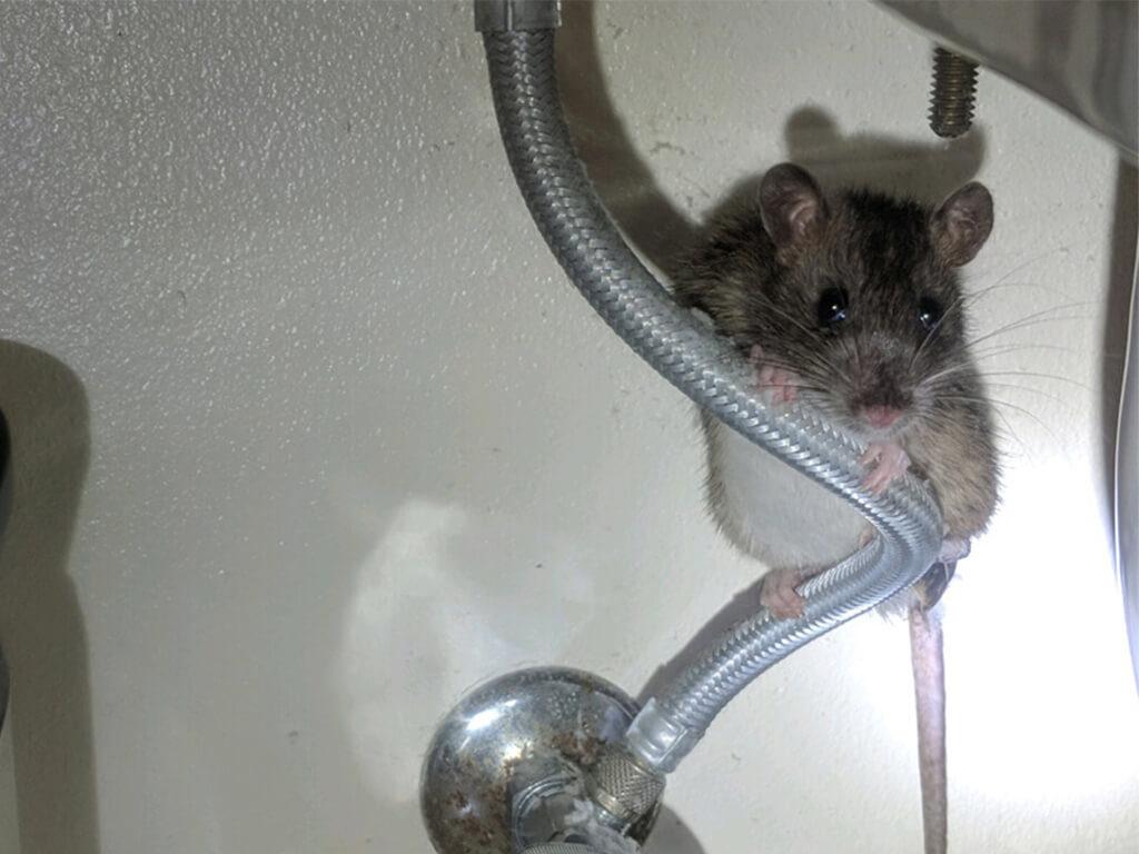 Rambo Sink Rat