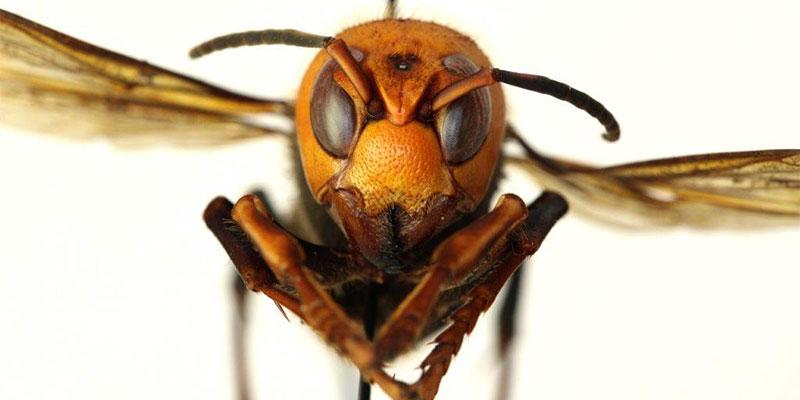 Asian Giant Hornet, Murder Hornet